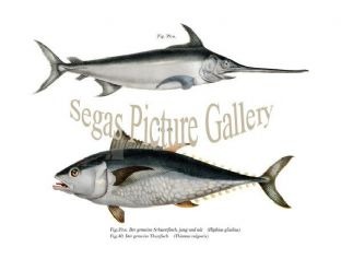 Swordfish, young and old, Tuna